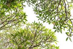 Под деревом Leelawadee Стоковые Фото