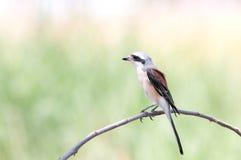 поддерживаемая Залив стойка Shrike в природе стоковое изображение rf