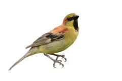 поддерживаемая Прост птица воробья Стоковые Изображения RF
