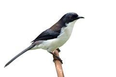 поддерживаемая Темн птица Sibia Стоковые Изображения