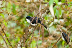 поддерживаемая Темн птица Sibia Стоковое Изображение
