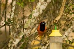 поддерживаемое Апельсин Troupial, садить на насест на ветви дерева, вид спереди Стоковое фото RF