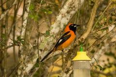 поддерживаемое Апельсин Troupial, садить на насест на ветви дерева, вид спереди Стоковые Фотографии RF