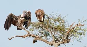 поддерживаемое Бело africanus Gyps хищников Стоковые Фото