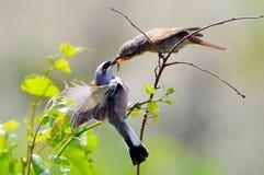 поддерживаемое Красно shrike в естественной среде обитания (Lanius Collurio) Стоковые Фотографии RF
