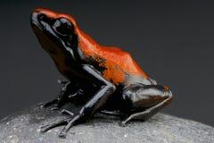 поддерживаемые Выплеск лягушка дротика/galactonotus Adelphobates Стоковое Изображение