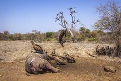 поддерживаемый Бело хищник в национальном парке Kruger, Южной Африке Стоковые Фотографии RF