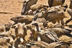 поддерживаемый Бело хищник, africanus Gyps, питание на мясе, Зимбабве Стоковое Изображение RF
