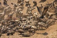 поддерживаемый Бело хищник, africanus Gyps, питание на мясе, Зимбабве Стоковые Фотографии RF