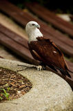 поддерживаемый Красно орел моря стоковые изображения