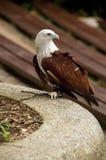 поддерживаемый Красно орел моря стоковая фотография rf