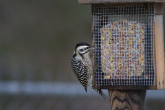 поддерживаемый Лестница Woodpecker Стоковое Фото