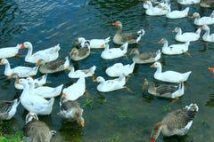 Полет белых гусынь плавая на воде Стоковые Изображения