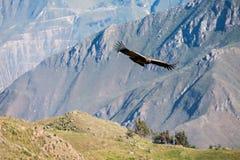 Полет кондора Стоковые Фото