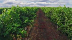 Полет над виноградником и облачным небом сток-видео