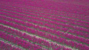 Полет над полем тюльпана сток-видео