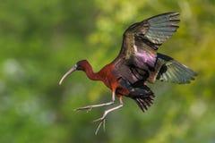 полет лоснистый ibis стоковые фото