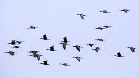 полет лоснистый ibis Стоковая Фотография