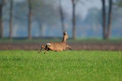 Полет оленей косуль над полем Стоковое фото RF