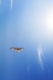 Полет парящей птицы в небе Стоковое Изображение