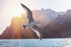 Полет птицы альбатроса в солнечное небо на гребне утесов Стоковое фото RF