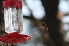 полет птицы припевая Стоковые Фотографии RF