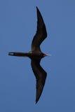 Полет птицы фрегата полностью Стоковое Фото