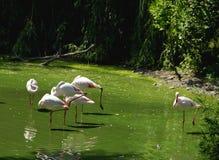 Полет фламинго Стоковая Фотография