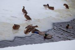 полет DuckTales Стоковое Изображение RF