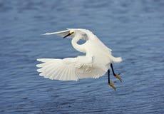полет egret снежный Стоковое Фото