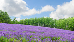 Поле лаванды в лете на furano Хоккаидо Стоковые Фотографии RF