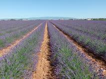 Поле лаванды, Провансаль, к югу от Франции стоковые фотографии rf