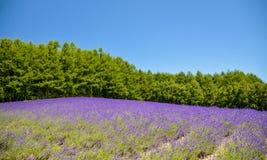 Поле лаванды с голубым небом Стоковое Фото