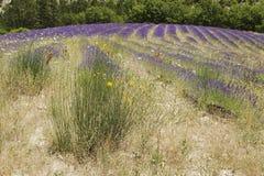 Поле лаванды с цветками Стоковая Фотография RF