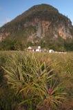 Поле ананаса в Кубе Стоковые Фото