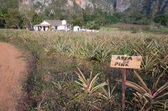 Поле ананаса в Кубе Стоковые Изображения RF