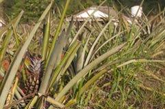 Поле ананаса в Кубе Стоковое Изображение