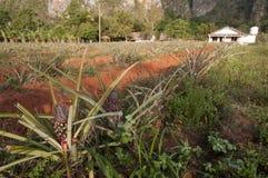 Поле ананаса в Кубе Стоковая Фотография RF