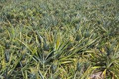 Поле ананаса, органическая ферма Стоковая Фотография