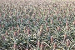 Поле ананаса Стоковые Изображения