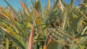 Поле ананасов акции видеоматериалы