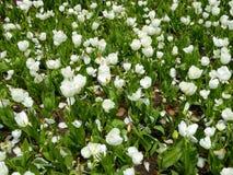 Поле белый зацветать тюльпанов Стоковые Изображения RF