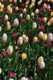 Поле белых красных желтых тюльпанов полностью зацветает Стоковое Фото
