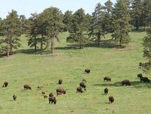Поле буйвола Стоковая Фотография RF
