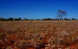 Поле бумажных маргариток в австралийской пустыне стоковая фотография rf