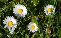 Поле весны стоцветов Стоковая Фотография