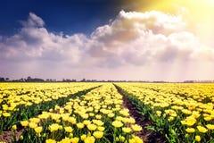 Поле весны с blossoming желтыми тюльпанами Стоковое Фото