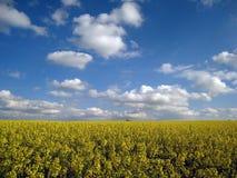 Поле Великобритания рапса масличного семени Стоковая Фотография