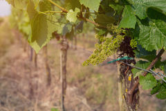 Поле вина Стоковые Фотографии RF