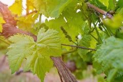 Поле вина Стоковая Фотография RF